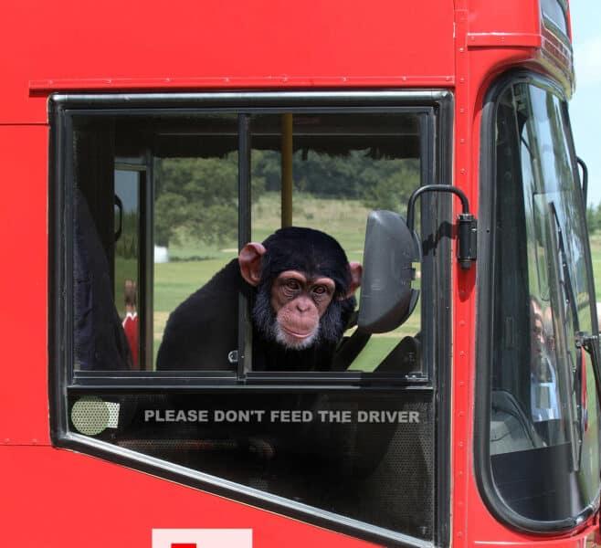 Monkey pretending to drive a big rig truck